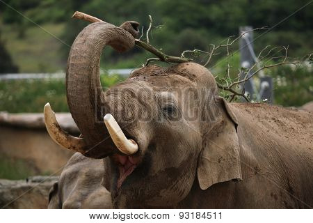 Indian elephant (Elephas maximus indicus) uses trunk to scratch its back with branch. Wildlife animal.