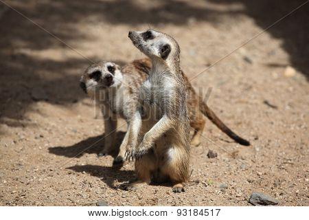 Two Meerkats (Suricata suricatta), also known as the suricate. Wildlife animals.