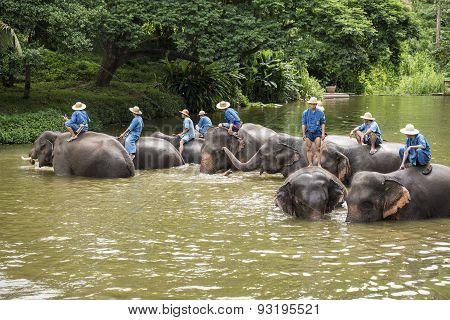 Mahouts bath and clean the elephants in the river