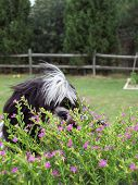 shih tzu dog watching bee pollenate mexican heather plant. poster