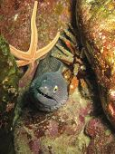 A moray eel emerges near a starfish and urchin from a rocky reef in Guaymas, San Carlos, Mexico poster