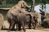 Indian elephants (Elephas maximus indicus) have sex. Wildlife animals.  poster