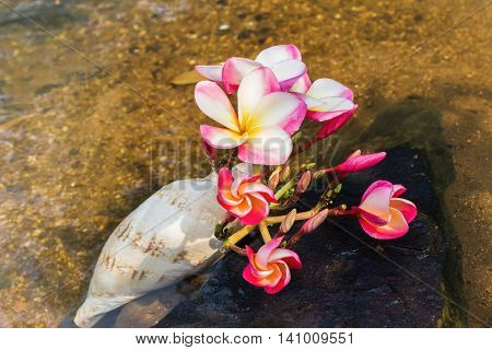 Pink Flower Plumeria Or Frangipani Bunch In Sea Conch Shell