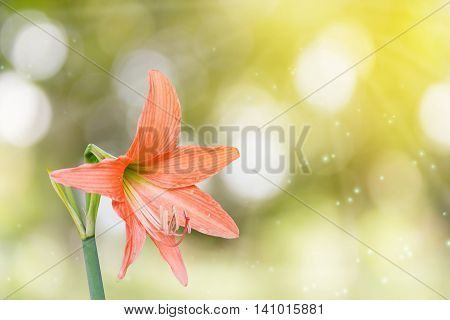 Orange Flowers Hippeastrum Or Amaryllis On Bokeh And Sunlight