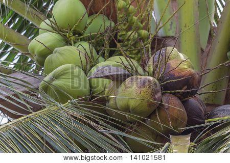 Coconut. Sweet ripe balmy on the tree.