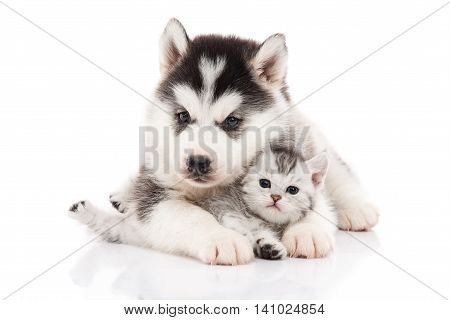 Cute siberian husky puppy cuddling cute kitten on white background isolated poster