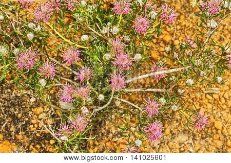Wildflowers In Lesueur National Park