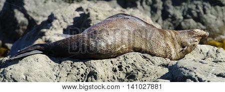 Sleeping Fur Seal Kaikoura Coast South Island New Zealand