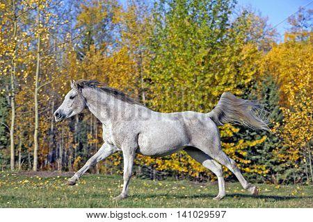 Purebred Grey Arabian Mare cantering at pasture,