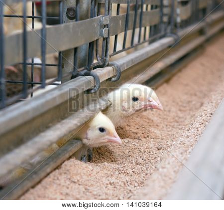 Young chickens broilers look out of the cell. Poultry farm