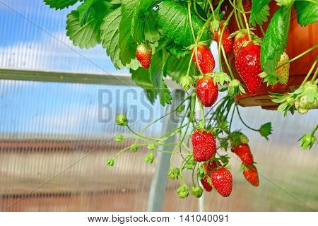 Ripe Garden Strawberry In Pot Hanging In Greenhouse