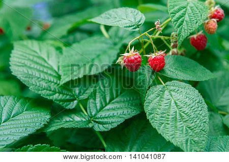 Lots of red ripe raspberries on a bush. Closeup of fresh organic berries with green leaves on raspberry cane. Summer garden in village. Growing berries harvest at farm