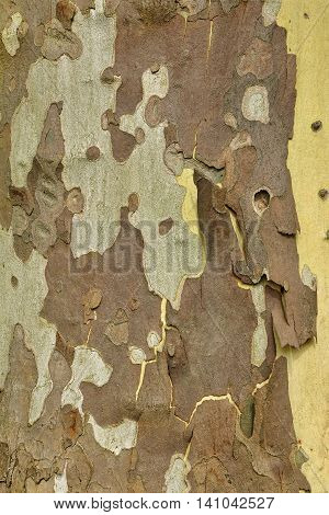Mottled Sycamore Tree Bark And Trunk Vertical Background Or Texture