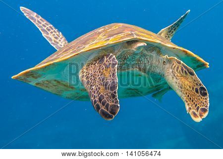 Clse up of back green turtle, Chelonia mydas, in blue water. Similan Islands in Thailand, Andaman Sea.