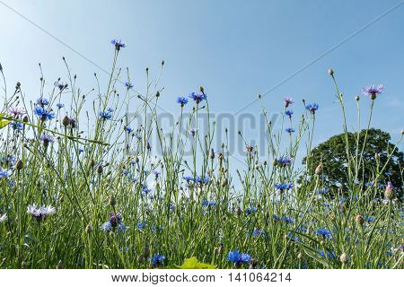 Cornflowers Field