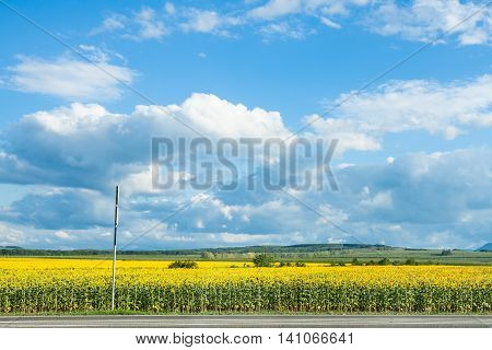 Blue Sky With White Clouds Over Sunflower Field