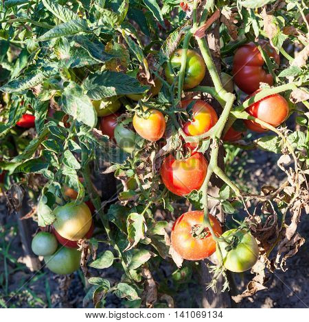 Bush Tomatoes On Wooden Stake In Garden