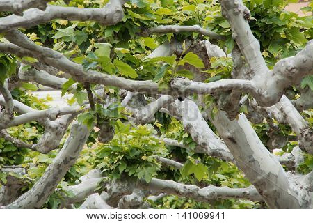Tangle of plane trees branches with bunches of leaves