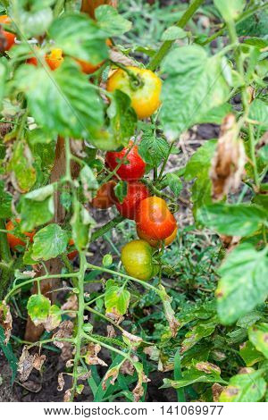 Ripe Tomatoes On Stake In Garden After Rain