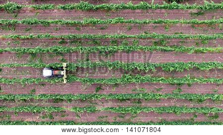 Aerial view of an agricultural machine tractor working in a vineyard between the rows.