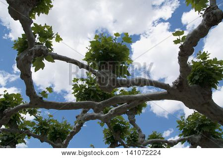 Branches of a plane tree with bunches of leaves on the background of a blue sky with clouds