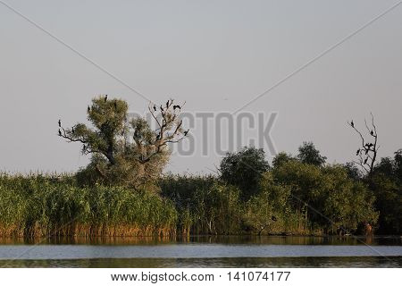 Phalacrocorax carbo in the natural environment the Danube Delta Romania