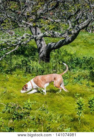 Brown Dog Searching in Tall Grass on one of North Carolina's bald mountains