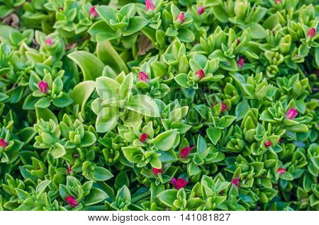 Green leaf texture. Tiny green leaves with pink flowers background. The natural texture of the grass.