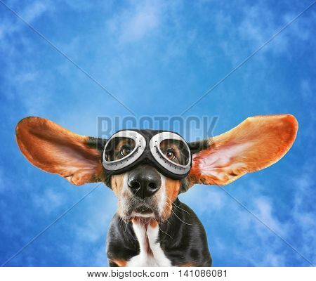 a basset hound wearing pilot goggles with his ears flying away like a plane on a pretty blue cloudy sky background
