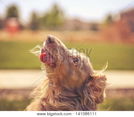 a miniature long haired dachshund with his tongue out and his ears flowing in the breeze toned with a retro vintage instagram filter effect