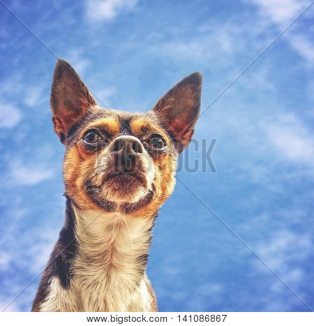 a chihuahua mix enjoying the outdoors on a beautiful summer day with a cloudy blue sky background behind him toned with a retro vintage instagram filter app or action effect