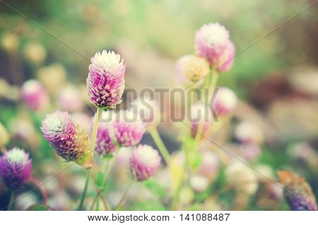 Globe Amaranth Flower With Selective Focus And Blurred Background With Filter
