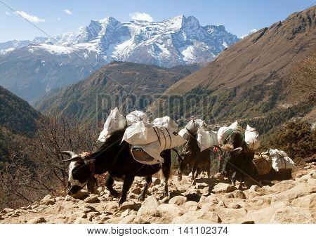 Caravan of yaks going to Everest base camp and mount Kongde Sagarmatha national park Khumbu valley Nepal