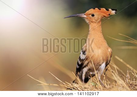 rare, beautiful bird with a colorful plumage, hoopoe, a bird with bangs, a unique moment with sunny hotspot
