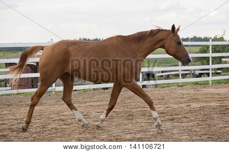 Russian Don horse in arena at summer day