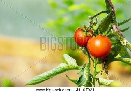 Ripe natural tomatoes growing on a branch in a greenhouse.