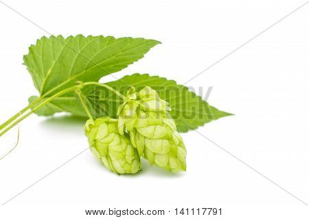 hop cones agriculture on a white background