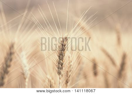 Wheat Beards. Close up image of a wheat field showing beards and kernels of the wheat plant.