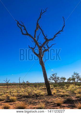 Dead tree in a desert in Australia