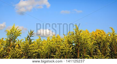 Closeup of yellow blossoming Goldenrod plants in a Dutch nature reserve and against a blue sky on a sunny day in the summer season.