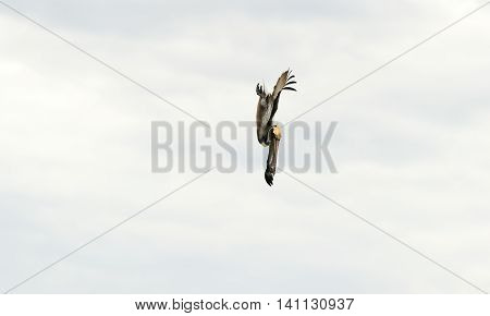 Pelican diving is a large seabird gracefully captured mid dive as he moves downward in a hunt for his food.