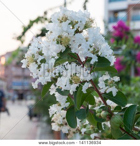 Cherry blossoms Judas tree in Turkey, white flowers.