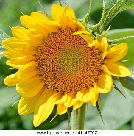The sunflower is an annual plant native to the Americas. It possesses a large inflorescence, and its name is derived from the flower's shape and image, which is often used to depict the sun.