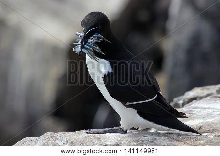 Razorbill (Alca torda) with its beak full of sand eels