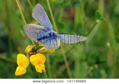 A Male Common Blue Butterfly (Polyommatus icarus) taken in Durham, UK