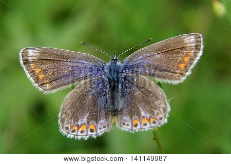Common blue, (Polyommatus icarus) Female butterfly, taken in Durham, UK