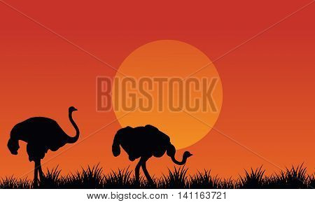 Silhouette of Ostrich scenery at afternoon in fields