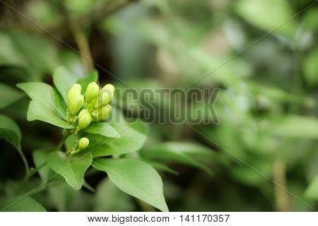 Orange Jessamine Flowers