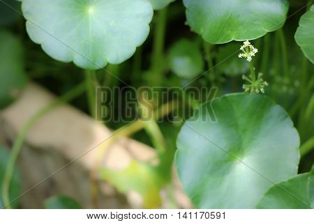 Small White Flower Of Gotu Kola Tre