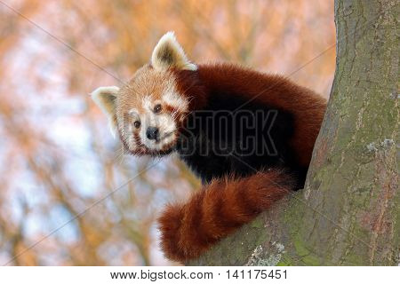 A small red Panda sitting in a tree